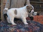 Изображение в Собаки и щенки Продажа собак, щенков Продаются очень перспективные щенки среднеазиатской в Новосибирске 15000