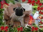 Изображение в Собаки и щенки Вязка собак Мопсы черного и бежевого окраса с документами в Новосибирске 0