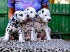 Фотография в Собаки и щенки Продажа собак, щенков Питомник Танец Отражений предлагает к продаже в Новосибирске 15000