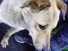 Скачать изображение Отдам даром Рыжий пес ищет хозяина 33067179 в Новосибирске