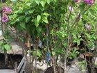 Изображение в Домашние животные Растения Саженцы высота от 30 до 160 см . Высота взрослого в Новосибирске 350