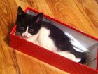 Изображение в Отдам даром - Приму в дар Отдам даром котенок-мальчик, очень игривый, ласковый, в Новосибирске 0