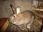 Фотография в Домашние животные Другие животные Продам кроликов мясных пород. Все кролики в Новосибирске 500