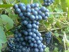 Уникальное фото Растения Продам саженцы винограда в Новосибирске 34013010 в Новосибирске