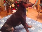 Изображение в Собаки и щенки Вязка собак С родословной, мама и папа победители, в в Новосибирске 0