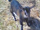 Скачать бесплатно фотографию Другие животные Продам козочек и козликов альпийской и зааненской пород 35891970 в Новосибирске