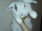 Изображение в   Отдам декоративного кролика-вислоушку с клеткой. в Новосибирске 0