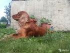 Изображение в Собаки и щенки Вязка собак Ищет даму сердца породистый двухгодовалый в Новосибирске 0