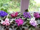 Уникальное фото Растения Продам фиалки - семполии 37069904 в Новосибирске