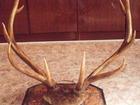 Фото в Мебель и интерьер Другие предметы интерьера Продам рога изюбра, красивые, настоящие. в Новосибирске 15000