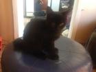 Изображение в Кошки и котята Продажа кошек и котят Курильский бобтеил, малыш очень активный в Новосибирске 10