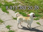 Фотография в Собаки и щенки Вязка собак Ждем в гости.   Родословная, диплом, развязан, в Новосибирске 1000
