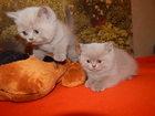 Фотография в Кошки и котята Продажа кошек и котят Продаются плюшевые котята породы британский в Новосибирске 10000