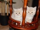 Фото в Кошки и котята Продажа кошек и котят Клубные плюшевые британчики редкостного окраса в Новосибирске 8000