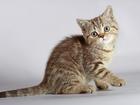 Изображение в Кошки и котята Продажа кошек и котят Сочно продаём британских кошечек 3 мес, недорого. в Новосибирске 0