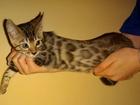 Фотография в Кошки и котята Продажа кошек и котят Кошечка от родителей - чемпионов, 2 месяца. в Новосибирске 20000