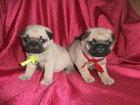 Фото в Собаки и щенки Продажа собак, щенков Милые мопсята-девочки 1 месяца с документами в Новосибирске 17000