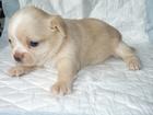 Изображение в Собаки и щенки Продажа собак, щенков Предлагается к резервированию. готова к переезду в Новосибирске 15000