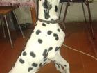 Фотография в Собаки и щенки Продажа собак, щенков Отдам в хорошие руки. . С родословной. Д в Новосибирске 0