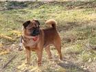 Фотография в Собаки и щенки Вязка собак Предлагаю для вязки кобеля, Пти брабансона. в Новосибирске 0
