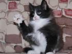 Фотография в   Настоящие норвежские лесные котята!   Питомник в Новосибирске 10000