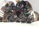 Фотография в Собаки и щенки Продажа собак, щенков Щенки леонбергера от европейских производителей. в Новосибирске 1000