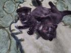 Фото в   Вислоухие котята, черные с белыми пятнами в Новосибирске 1000