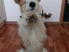 Фотография в Собаки и щенки Вязка собак Собака со всеми прививками, с документами. в Новосибирске 0