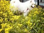 Фотография в Собаки и щенки Вязка собак Молодой, крупный, активный кобель самоедской в Новосибирске 10000