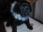 Изображение в   На продажу есть 4 щенка черного окраса   в Новосибирске 12000