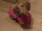 Фотография в Собаки и щенки Вязка собак Рыжая такса, стандарт, 4 года 3 месяца, ищет в Новосибирске 0