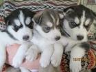 Изображение в Собаки и щенки Продажа собак, щенков Продам щенков Сибирский Хаски с документами. в Новосибирске 18000