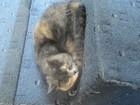 Фотография в   Шотландская, прямоухая кошка срочно ищет в Новосибирске 0
