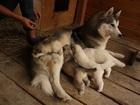 Фото в   Продам собаку в хорошую, добрую семью. Собака в Новосибирске 5000