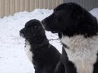 Изображение в Собаки и щенки Продажа собак, щенков Черные кобели от красивой молодой пары черных в Новосибирске 30000