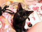 Фото в Кошки и котята Продажа кошек и котят Новосибирск! Срочно! ! ! Два очаровательнейших в Новосибирске 0