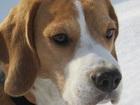 Изображение в Собаки и щенки Вязка собак Шикарный пес с отличной родословной ищет в Новосибирске 0