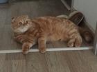 Увидеть foto  Вислоухая кошка 38544410 в Новосибирске