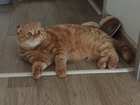 Фото в   Ищу шотландского кото для вязка. в Новосибирске 0