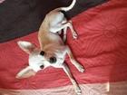 Скачать бесплатно фотографию Вязка собак кобель готов к вязке 38754520 в Новосибирске