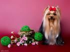 Фотография в Собаки и щенки Продажа собак, щенков Ждут своих любящих мам и пап щенки йоркширского в Новосибирске 25000