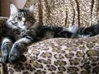 Изображение в Кошки и котята Вязка Кот породы мейн-кун с родословной, возраст в Новосибирске 5000