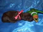 Изображение в Собаки и щенки Продажа собак, щенков 📌📌&#12820 4;ЩЕНКИ в Новосибирске 0