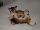 Изображение в   Профессиональный питомник абиссинских кошек в Новосибирске 15000