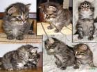 Фото в Кошки и котята Продажа кошек и котят Качественные Сибирские котята. Почти не юзанные, в Новосибирске 0