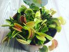 Свежее изображение Растения Хищные растения (венерина мухоловка и др,) 55917569 в Новосибирске