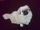 Просмотреть foto Вязка собак Пекинес, девочка, 2,5 года, ищет жениха, 68303712 в Новосибирске