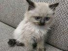 Балийский сиамский котёнок