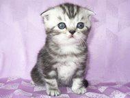Шотландский вислоухий котик Шотландский котик скоттиш фолд, 1. 5 месяца.     За