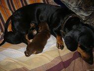 щенки таксы Щенки родились 25 мая уже готовы ехать к своим любящим мамам и папам